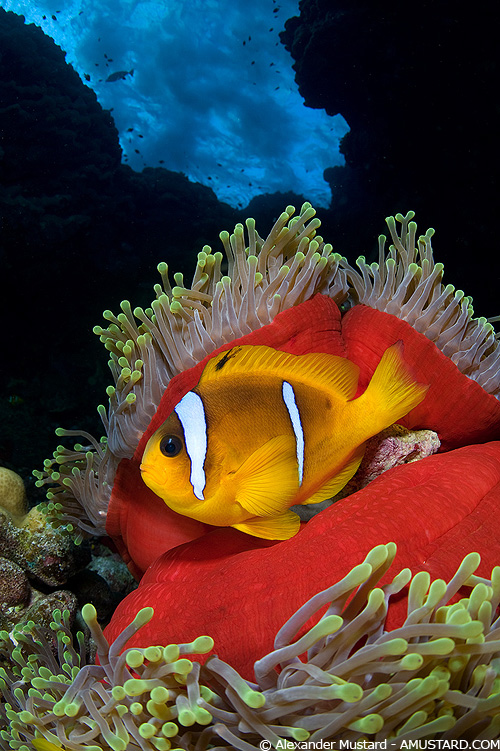 Clownfish close focus wide angle underwater image by Alex Mustard