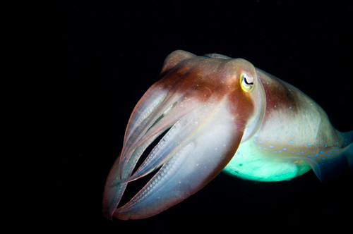 cuttlefish underwater photograph by Matt Weiss