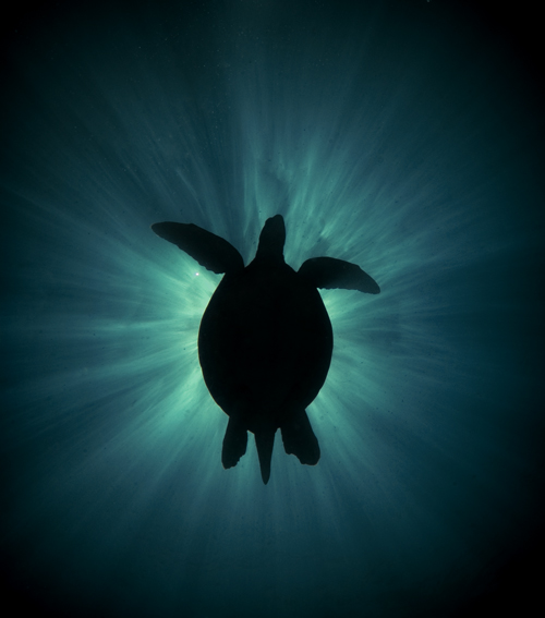 underwater photograph of a sea turlte blocking the sun