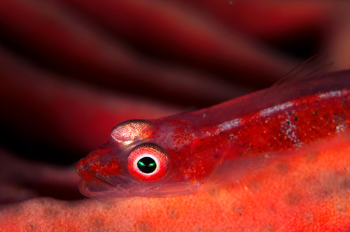 Goby underwater image