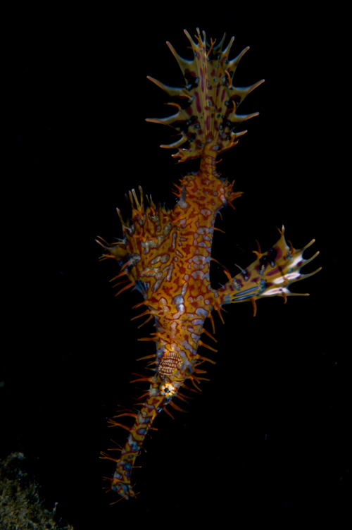 ornate ghost pipefish underwater photograph by Matt Weiss