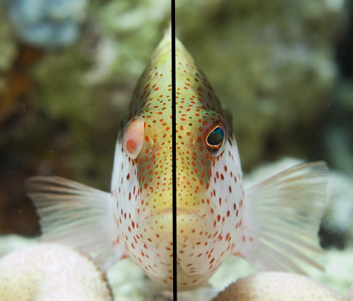 underwater photograph of hawkfish by Matt Weiss