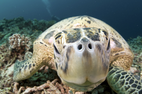 sea turtle underwater photograph by Matt Weiss