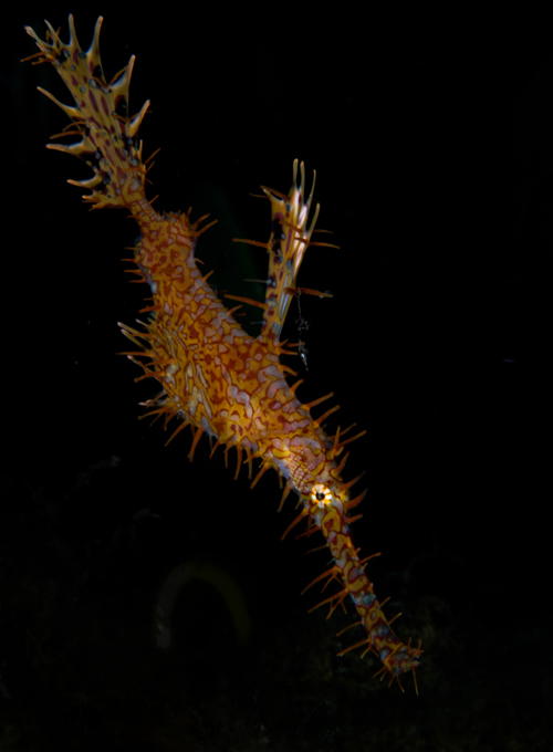 ornate ghost pipefish by Matt Weiss