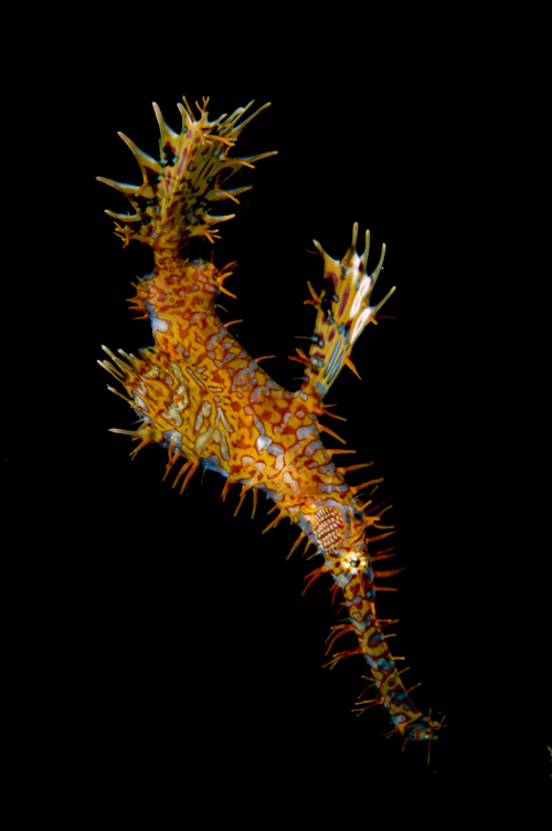 ghost pipefish in s-curve by Matt Weiss