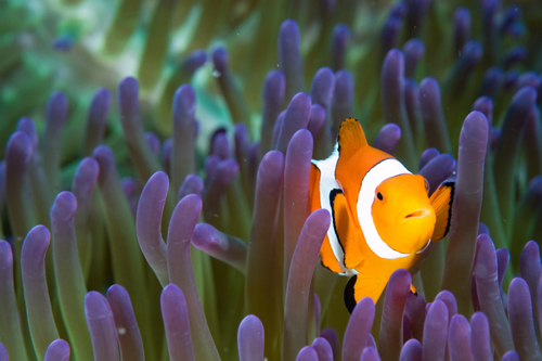 clownfish underwater photograph by Matt Weiss