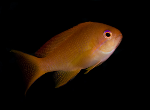 anthias with black background underwater photograph by Matt Weiss