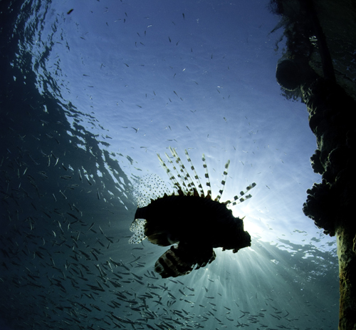 An underwater photograph of a lion fish in Snell's window