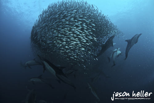 Underwater Photography Sardine Run