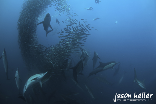 Underwater Photography Expedition Sardine Run