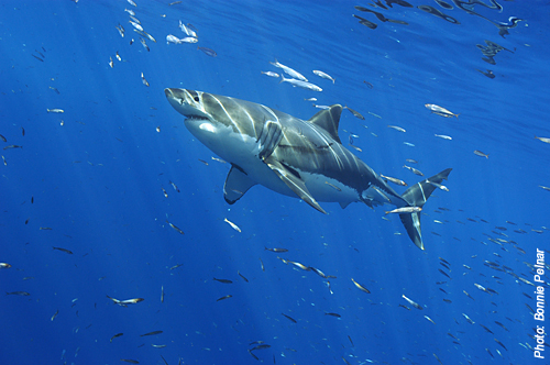 Guadalupe Great White Shark Bonnie Pelnar