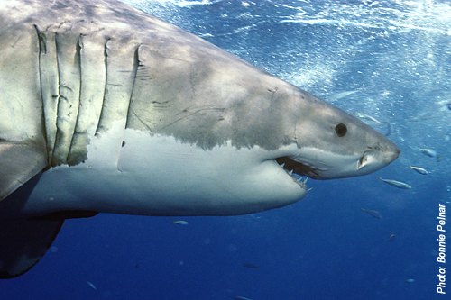 Great White Shark Bonnie Pelnar