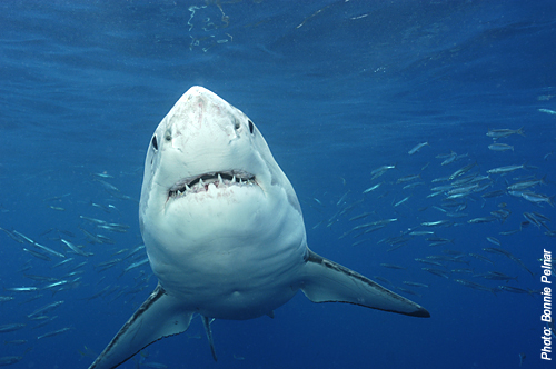 Great White Shark Guadalupe Bonnie Pelnar