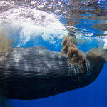 "Everybody Poops: Photographer Gets Caught in an Epic Sperm Whale ""Poopnado"""