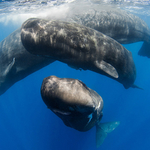Sperm Whales with the Nikon D500 in Nauticam Housing