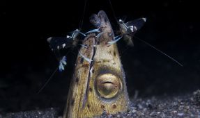 Critter Corner Special - Snooting In Lembeh
