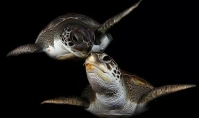 Kissing Turtles