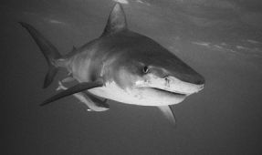 Fins, Mask and a Nikonos – Old School Shark Photography