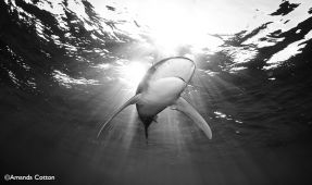 Photo Series- Sharks of the Bahamas