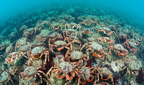 Spider Crab Aggregation