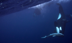 Video: Orcas vs. Shark