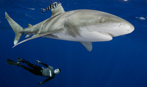 Quick Tips for Photographing Oceanic Whitetip Sharks