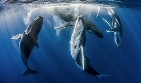 Underwater Competition Behind the Shot – Dancing Whales