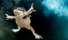 Underwater Competition Behind the Shot – Mating Toads