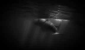 Decisive Moments: Photographing the Sperm Whales of the Azores