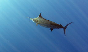Targeting Pelagic Animals in Underwater Photography