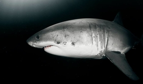 Blackwater White Sharks: Photographing an Apex Predator at Night