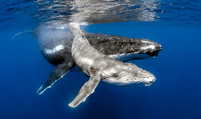 Photographing Humpbacks in Tonga