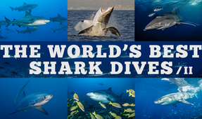 The World's Best Shark Dives – Part II