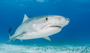 Photographing Tiger Sharks