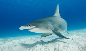 Photographing Great Hammerheads