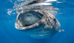 Photographing the Whale Shark
