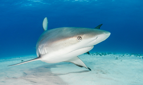 Photographing Caribbean Reef Sharks