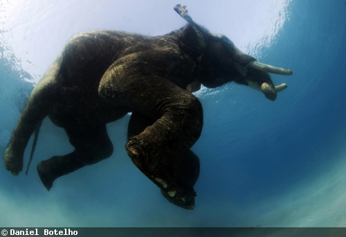 Underwater elephant photography
