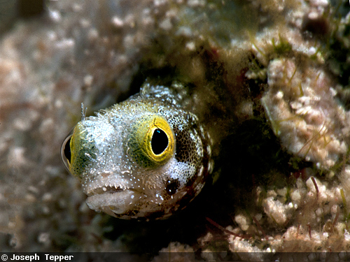 ... Blennies are mostly distributed throughout the Bahamas and other