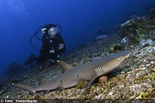 подводный снимок акулы