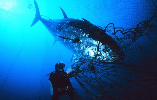 Tuna: Wild