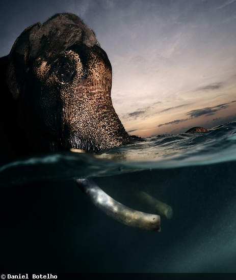 Elephant in water at sunset