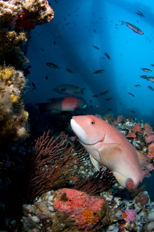 underwater photography- sheephead
