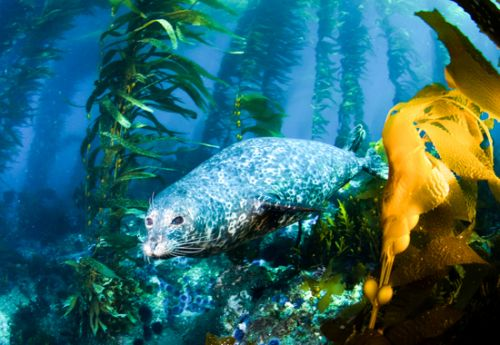 pinniped in kelp forest