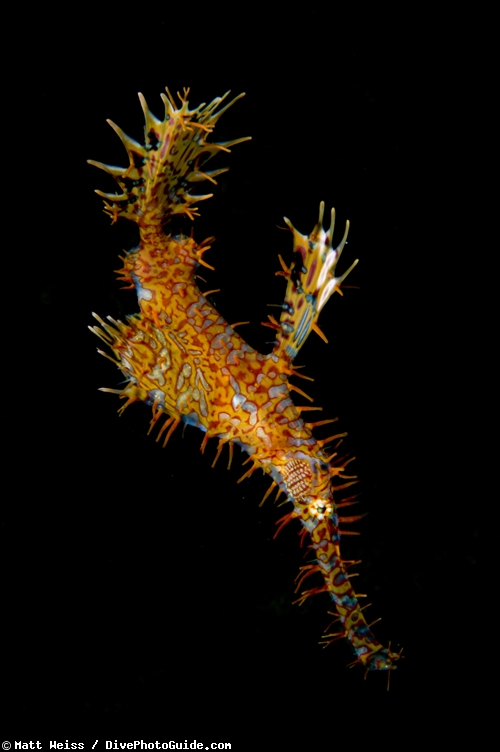 Ornate Ghost Pipefish in lembeh straight by Matt Weiss