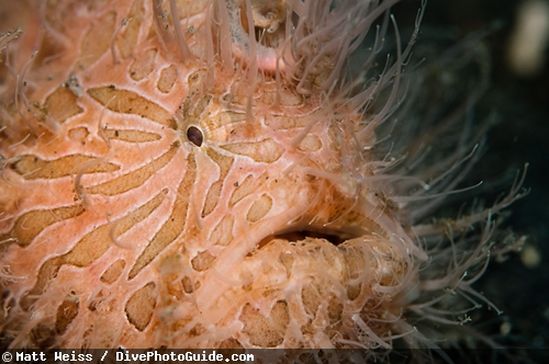 Hairy Frogfish in lembeh straight by Matt Weiss