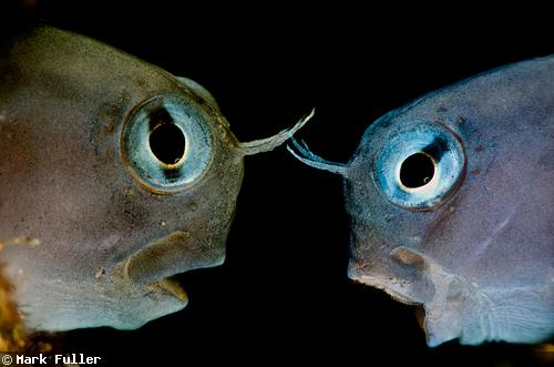 Capturing Fish Yawns