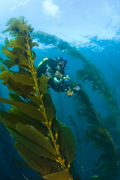 kelp forest in san miguel