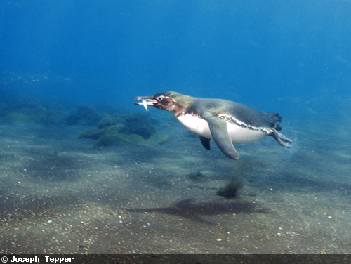penguin hunting