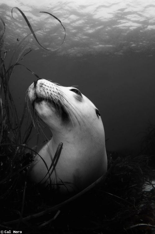 Australian Sea Lion Potrait